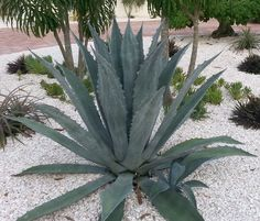 Known as the Century plant, though it doesn't live quite that long (~20 years). Large, open rosette of thick, succulent grey-blue leaves with sharp, brown marginal spines. Offsets regularly. Can get 1
