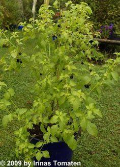 Jaltomate, Fruits pourpre foncé, presque noirs, de la taille d'un gros bleuet. Chair blanchâtre d'une saveur s'approchant à la fois de la tomate et du raisin. Se consomment frais, en confiture ou séchés.  Sert  à la confection de salsas. Pousse bien au Québec. Plants de 0,5 à 1,5m cm de hauteur, selon que l'on utilise un tuteur ou non. Les plants tendent à s'effondrer et à croître au sol (port rampant). Très rare!
