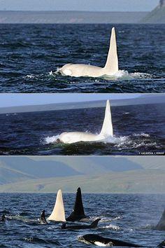 natación orca albina en vaina: