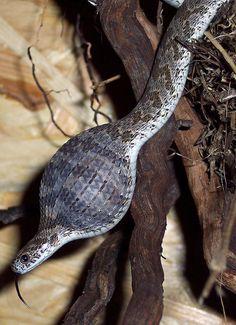 Afrikanische Eierschlange