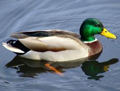 duck - Google Search