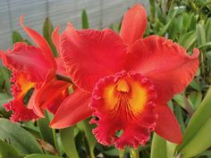 ●Rlc. Rie\'s Orange Grove'Hope' - カトログ !! ~ カトレヤ交配種のブログ (Hybrid Cattleya's Blog & Database) ~