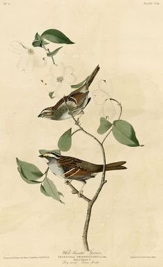 File:White-throated Sparrow (#Audubon).jpg - Wikimedia Commons