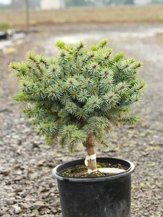 Picea sitchensis 'Papoose' - Conifer Kingdom