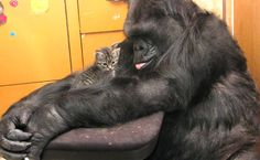 Koko the Gorilla with one of her kittens