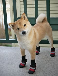 shiba inus are weird dogs of course they come from japan 8 Shiba Inus are many things but mostly weird Photos) Funny Animals, Cute Animals, Hachiko, Japanese Dogs, Crazy Dog, Dogs And Puppies, Doggies, Labrador Puppies, Animales