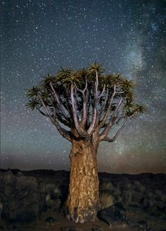 Les plus vieux arbres d'Afrique illuminés par les étoiles