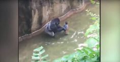 An eyewitness of the incident at the Cincinnati Zoo this weekend involving a 4-year-old child and a gorilla says the child's parents were not at fault.