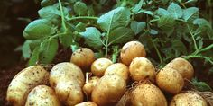Genetically Modified Organisms, up to date research article.