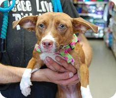 Brooklyn, NY - Chihuahua/Dachshund Mix. Meet Sandy, a dog for adoption. http://www.adoptapet.com/pet/13507793-brooklyn-new-york-chihuahua-mix