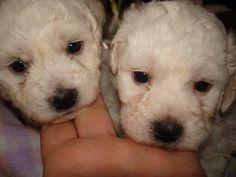 Cute AKC  Bichon Frise Puppies for sale
