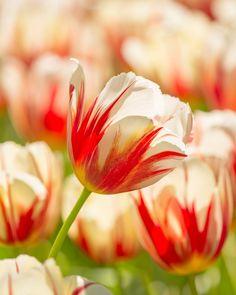 Tulip Carnaval de Rio