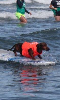 Trust me.that dachshund is terrified. They hate water. Funny Dogs, Funny Animals, Cute Animals, I Love Dogs, Cute Dogs, Dachshund Love, Daschund, Weenie Dogs, Doggies