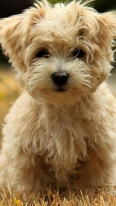 All About Morkies. Read Info & Articles About Morkies. Small Dogs with Big Personalities! Read About Morkie Health tips, Training, Morkie Breeders, See Morkie Pictures. Morkie Books & More. We Love Our Morkie Dogs Fluffy Puppies, Cute Puppies, Dogs And Puppies, Havanese Puppies, Puppies Puppies, Bichon Frise, Schnoodle Puppy, Cavachon, Bichons