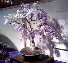 Helpful Guidelines In Growing Indoor Bonsai Trees Japanese Wisteria Bonsai Bonsai Tree Types, Indoor Bonsai Tree, Bonsai Plants, Bonsai Garden, Succulents Garden, Air Plants, Cactus Plants, Garden Plants, House Plants