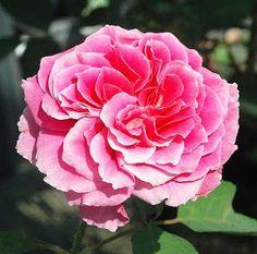 Anne McKinnon A radiant pink Hybrid T www.nelsonsfloridaroses.com