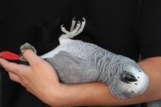 African Grey Acting Like a Baby ❤️...:)