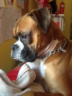 I want a Boxer!