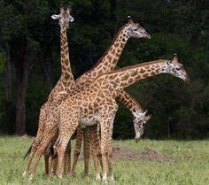 A ticking giraffe neck...