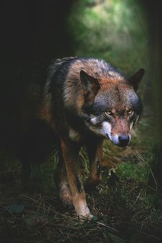 wavemotions: Shadow Wolf