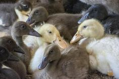 How to Raise Ducks: The Messuri family first got ducks because their son thought ducklings were cute. Now they have a business raising pasture (free-range) ducks and selling the eggs. They share their tips for raising ducks and selling eggs. Backyard Ducks, Chickens Backyard, Fresh Chicken, Chicken Eggs, Farm Chicken, Pet Chickens, Raising Chickens, Selling Eggs, Raising Ducks