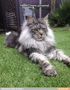 "Apparently either a Maine Coon or a Norwegian Forest Cat. ""They're the size of small dogs (far bigger than chihuahua and the like)"""