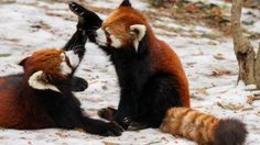 Is the Red Panda a Cat, Bear or Raccoon