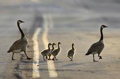 A family of geese crosses a road in the evening sunlight in East Rutherford, N.J.