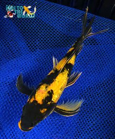 Japanese associate koi also known as carp with for Live butterfly koi for sale