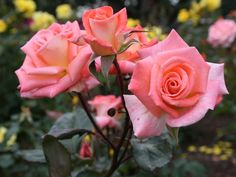 jak ciąć róże