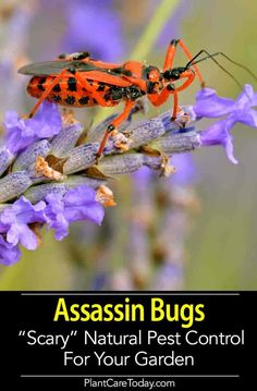 Garden Sofa The Assassin bug is a beneficial insect and handy garden helper. A voracious pest predator consuming large numbers of garden pests from aphids to caterpillars. This article shares advice on attracting and the assassin beetle in your garden.