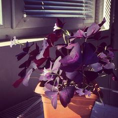Purple Shamrock (oxalis triangularis papilionacea atropurpurpea): Your plant appears to be an Oxalis bred for its dark purplish-maroon triangular shaped foliage. Ideal in containers. Indoors needs bright indirect light. Leaves fold up when light levels drop. Grows from a bulb.