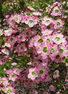 Leptospermum karo 'Pearl Star' Familia:Myrtaceae Compacta Perenne Época/Floración:II/V Color floración:Leptospermum karo 'Pearl Star' Altura (cm): 100/120 Anchura (cm): 60/80 Temperatura: -6ºC Zona 8 A pleno sol Muy resistente a la sequedad