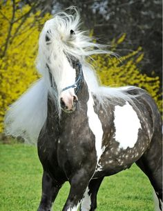 In celebration of Kentucky Derby Day, Grabberwocky presents: The Most Gorgeous Horses of Different Colors You& Ever Seen. Enjoy the beauty of these. Most Beautiful Animals, Beautiful Horses, Beautiful Creatures, Cheval Pie, Animals And Pets, Cute Animals, Gypsy Horse, Majestic Horse, All The Pretty Horses