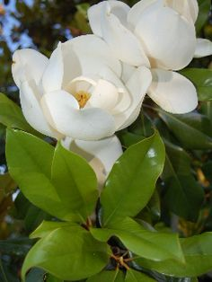 The Southern Magnolia.......   I love this tree so much.                 GardenVoice.com