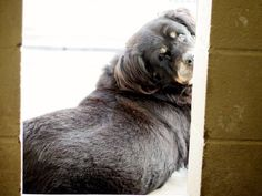 *SENIOR ALERT* A1365634  The SUPER SWEET senior girl is a 10 year old female, black and brown Rottweiler mix.  all North Central animals come spayed/neutered, microchipped and current on all their shots (including   rabies). North Central LA City shelter; 3201 Lacy St., Los Angeles; 213-485-5767