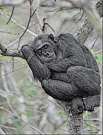"""Search Results for """"chimps"""" – Chris The Story Reading Ape's Blog"""