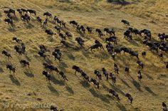 Gnus, fotografiert aus dem Heißluftballon. | Masai Mara. | Kenia. |  www.ingogerlach.com