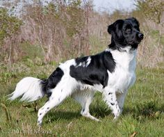 Pointing Dog Blog: Breed of the Week: The Stabyhoun