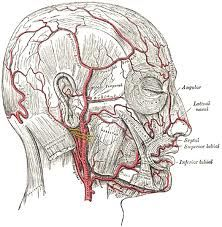 superficial temporal artery - Google Search