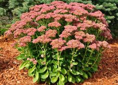 Autumn Joy Sedum. A
