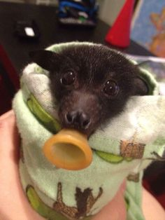 Heat stress orphan black headed flying fox, Australia NOVEMBER 2014