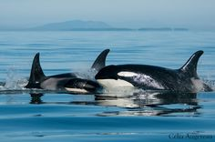 My dream is to see orcas in the wild.
