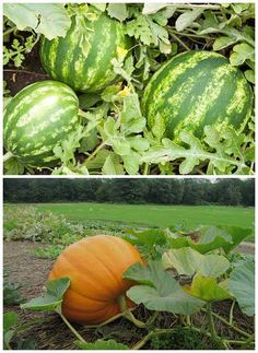 Secrets On How To Grow Huge Watermelons and Pumpkins