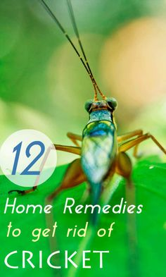 Learn here to get rid of crickets naturally using home remedies.  #crickets #homeremedies #pestcontrol