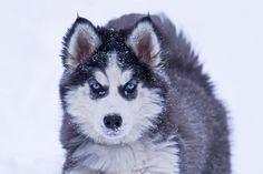 Husky by Jerry Peltier on 500px