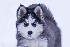 Husky by Jerry Peltier on 500px