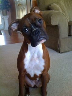 boxer head tilt Dogs 6 Problems Only Boxer Owners Will Understand Boxer Dog Puppy, Boxer Rescue, White Boxer Puppies, Boxer Dogs Facts, Dog Facts, Boxer Dog Quotes, Boxer And Baby, Boxer Love, I Love Dogs