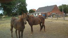 Speurders.nl: Diverse MORGAN HORSES USA te koop