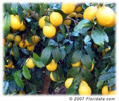 Meyer lemon - Cannot praise it enough.  Huge tree tons of giant fruit.